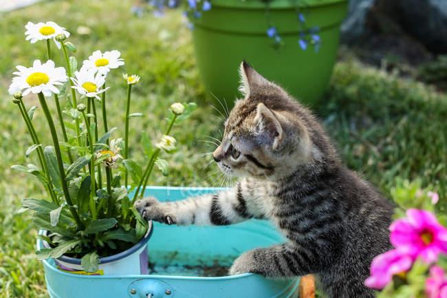 Kitten looking at flowers — Stock Photo