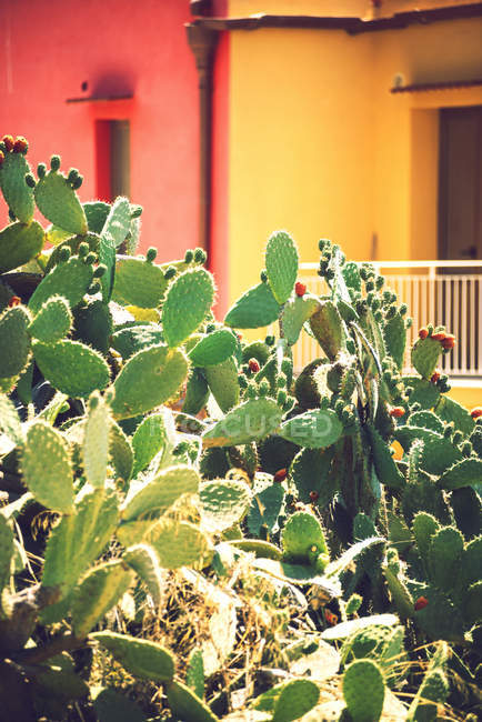 Prickly pears over colorful facades — Stock Photo