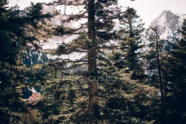 Foresta di pini su sfondo di montagne — Foto stock
