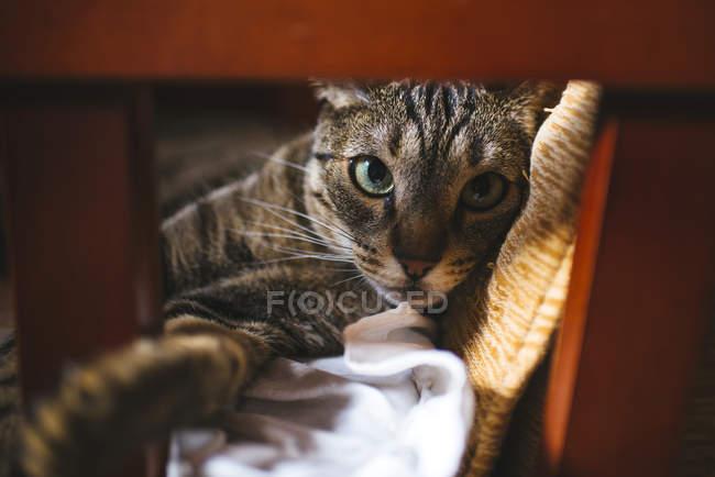 Полосатый кот лежал в кресло и, глядя на камеру крупным планом — стоковое фото