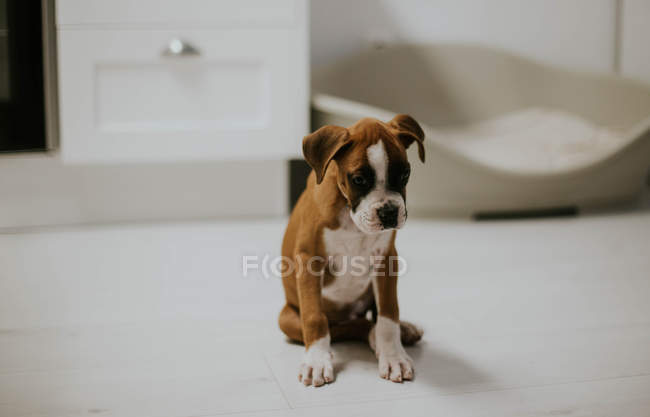 Cute brown puppy sitting on floor at home — Stock Photo