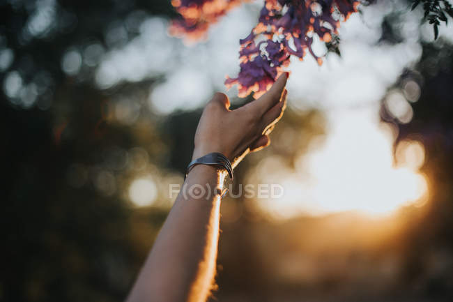 Ernte weibliche Hand berührt blühenden Zweig im Sonnenuntergang Licht — Stockfoto