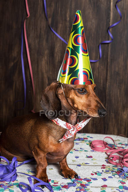 Собака в конусовой шляпе на день рождения — стоковое фото