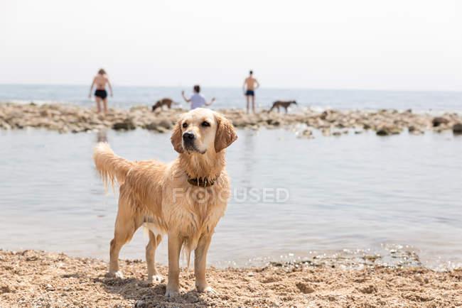Golden Retriever profite d'une journée ensoleillée à la plage — Photo de stock
