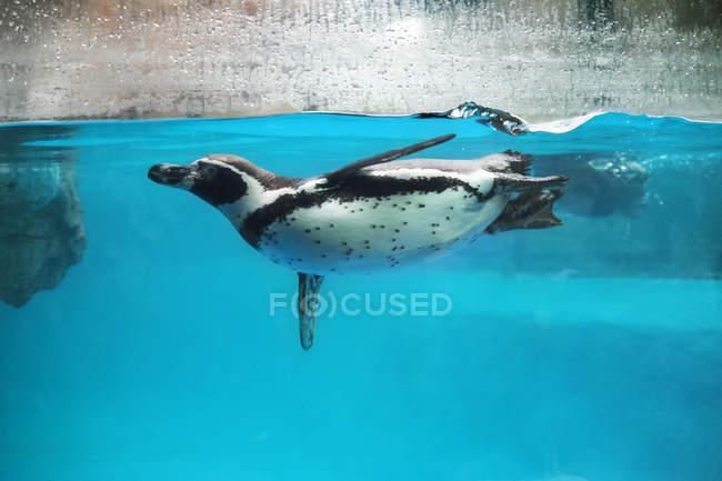 Vista laterale dei pinguini che nuotano sott'acqua . — Foto stock