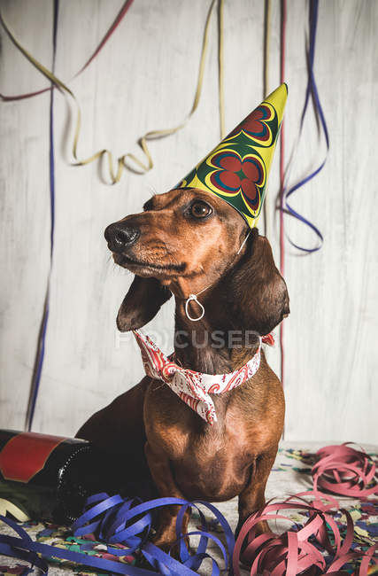 Portrait of Dachshund in bow tie and paper cone among serpentine — Stock Photo