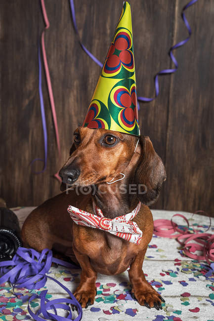 Dachshund dog in birthday cone hat — Stock Photo
