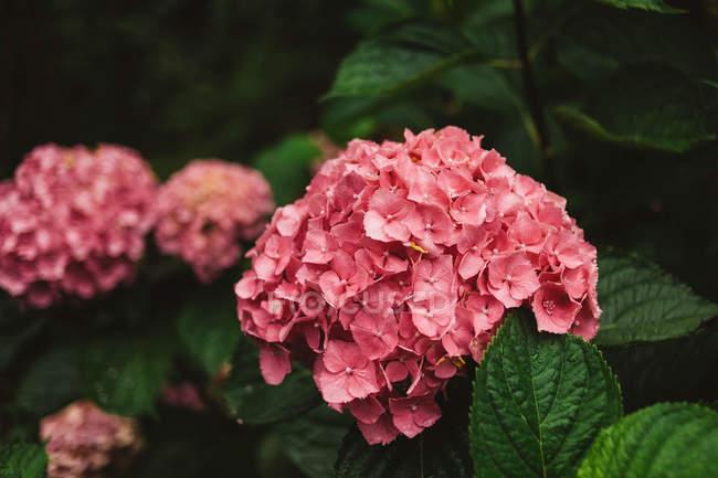 Крупним планом рожеві гортензії квітучих рослин — стокове фото
