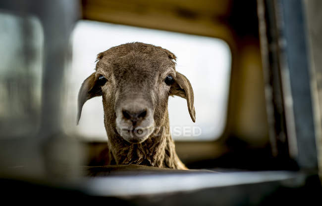 Goat looking at camera — Stock Photo
