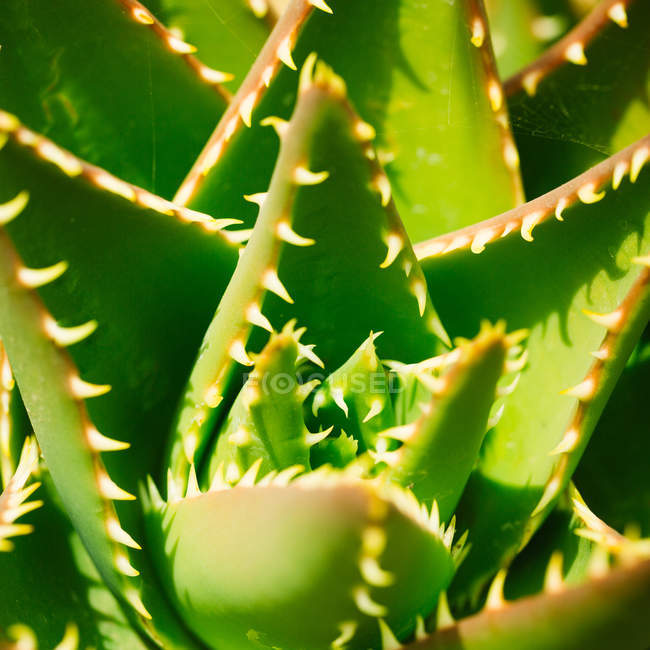 Close up shot of young leaves of cacti in sunlight — Stock Photo