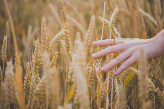 Cropped image of female hand touching yellow rye spikelet in countryside field — Stock Photo