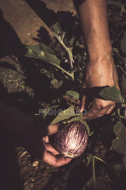 Закри людські руки заглядати стиглі баклажани в саду — стокове фото