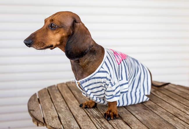 Dachshund dog in sailor costume — Stock Photo