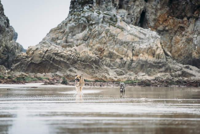Cani in piedi sulla spiaggia di sabbia bagnata — Foto stock