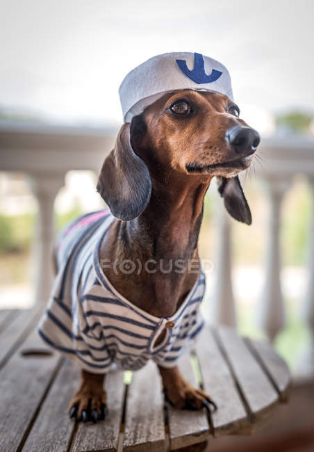 Dachshund dog in sailor costume — Stock Photo