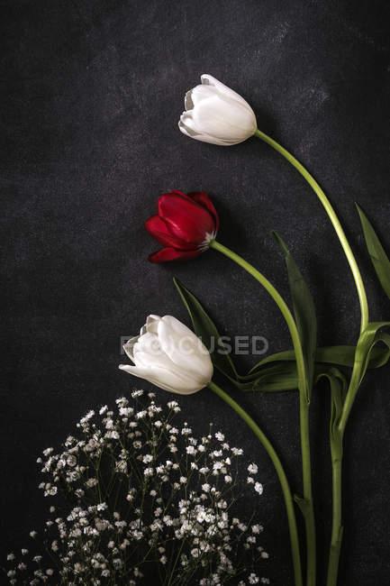 Квіткові тла з червоними і білими тюльпанів на чорному фоні. — стокове фото