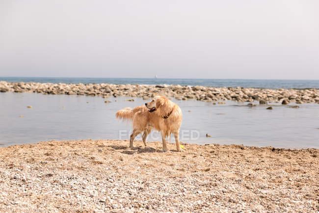 Golden Retriever blickt zurück und genießt sonnigen Tag am Strand — Stockfoto