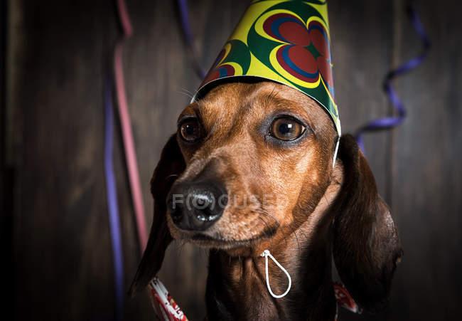 Такса собака в день народження конус капелюх — стокове фото
