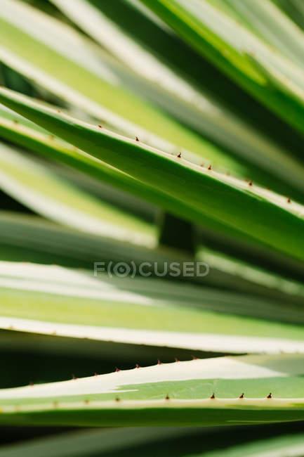 Обрезанное изображение листьев агавы с шипами — стоковое фото