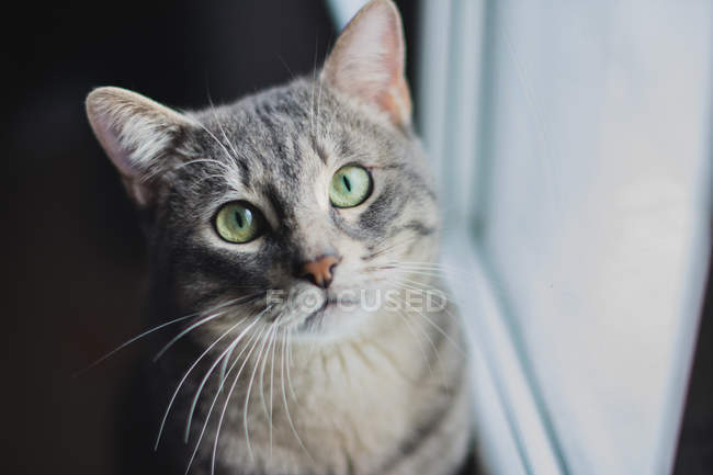 Gray cat looking in camera — Stock Photo