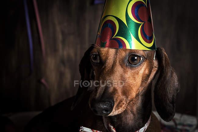 Dachshund chien en chapeau de cône d'anniversaire — Photo de stock