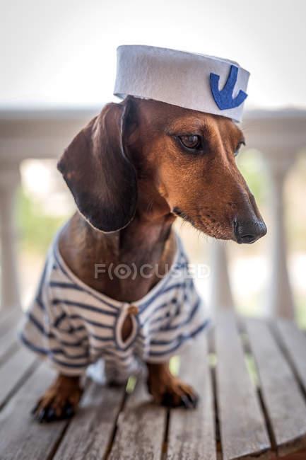 Пёс таксы в матросском костюме — стоковое фото