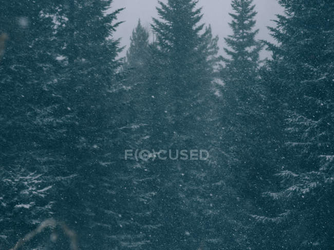 Full frame shot of evergreen huge trees in snow falling. — Stock Photo