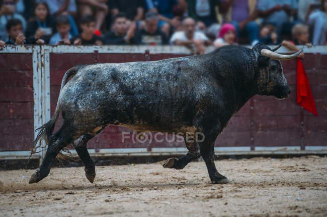 Bull in esecuzione su sabbia bullring — Foto stock