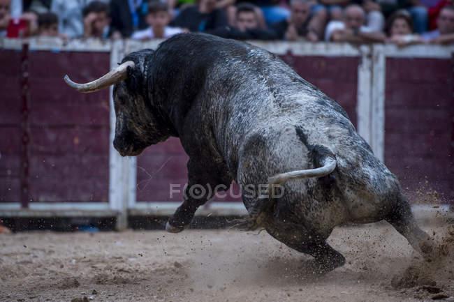 Toro in movimento su sabbia bullring — Foto stock