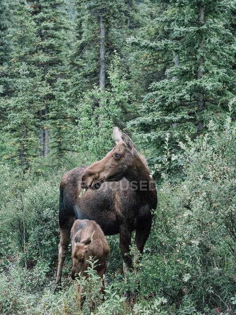 Moose with elk calf in woods — Stock Photo