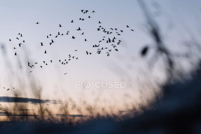 Черные птицы летят в голубом небе над сухим полем — стоковое фото