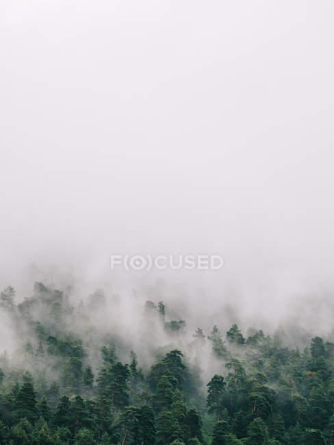 Árboles verdes en la niebla espesa - foto de stock
