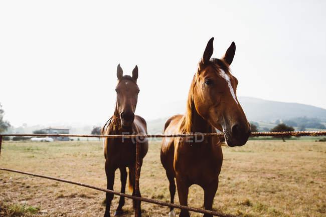 Cavalli in piedi alla recinzione in paddock nel prato — Foto stock