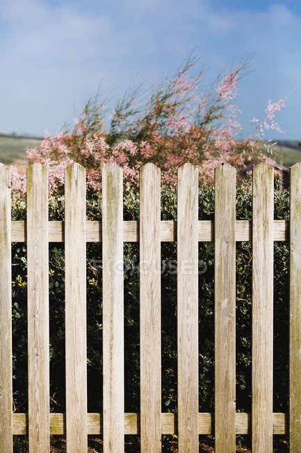 Цветущие кусты за деревянным забором на голубом фоне неба . — стоковое фото