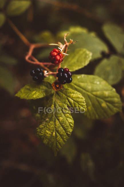 Close-up tiro de amoras maduras e verdes no verde arbusto com folhas exuberantes. — Fotografia de Stock