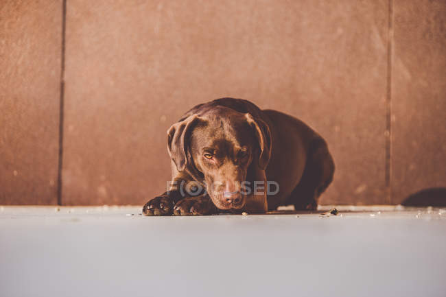 Adorable brown labrador puppy lying on gray floor with head on paws. — Stock Photo