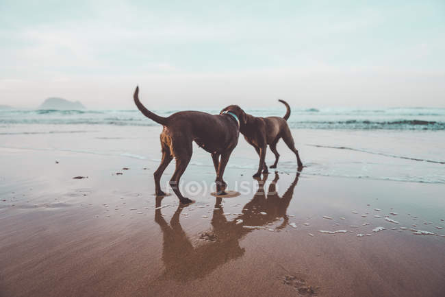 Two brown labrador dogs having fun on seashore — Stock Photo