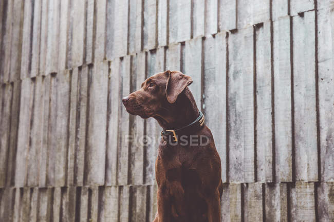 Adorable brown dog posing in front of gray wooden wall. — Stock Photo