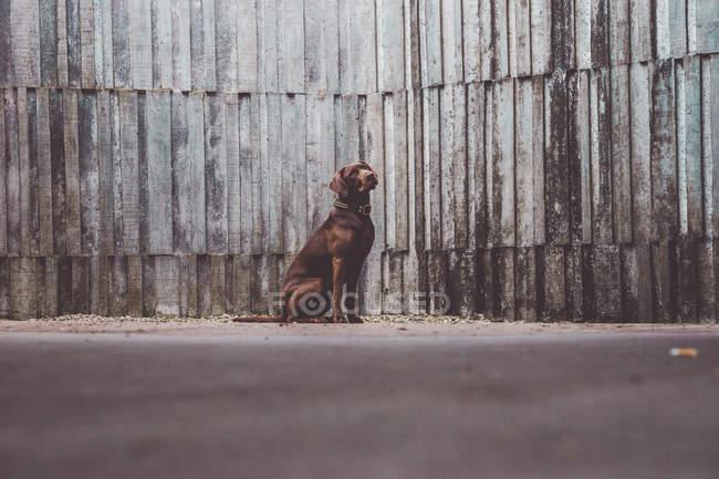 Cute brown Labrador dog sitting near wooden wall — Stock Photo