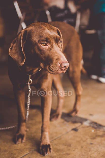 Adorable brown labrador dog with leash standing on tiled floor and looking away — Stock Photo