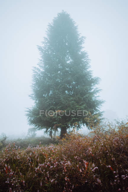 Evergreen tree on rural meadow in thick mist in morning. — Stock Photo