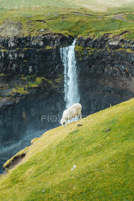 Pecora pascolo sul prato su cascata sfondo — Foto stock