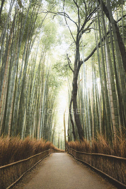 Perspective view of paved road amid of mysterious bamboo grove — Stock Photo