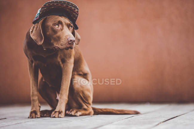Brown labrador dog in patterned cap sitting on gray wooden floor and looking away — Stock Photo