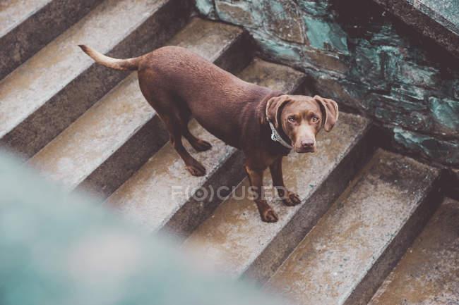 Vue grand angle du chien labrador brun debout sur les escaliers et regardant la caméra . — Photo de stock
