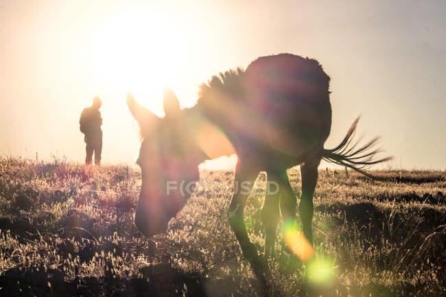 Âne marchant au domaine rural au coucher du soleil — Photo de stock