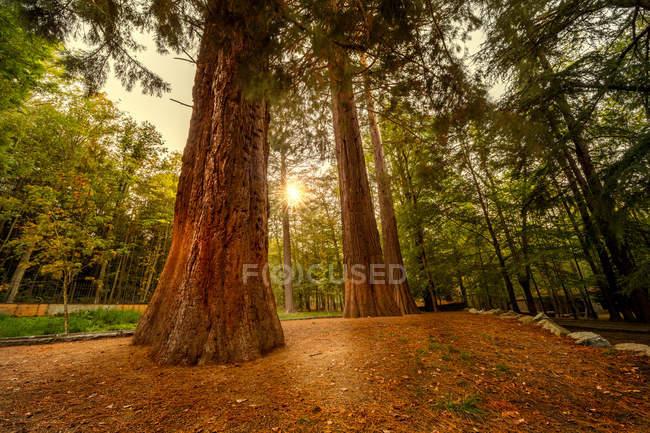 Luce del sole che splende attraverso l'attrice al prato della foresta con sequoie giganti — Foto stock
