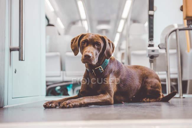 Perro labrador marrón acostado obedientemente en el suelo en vagón de tren y mirando a la cámara . - foto de stock