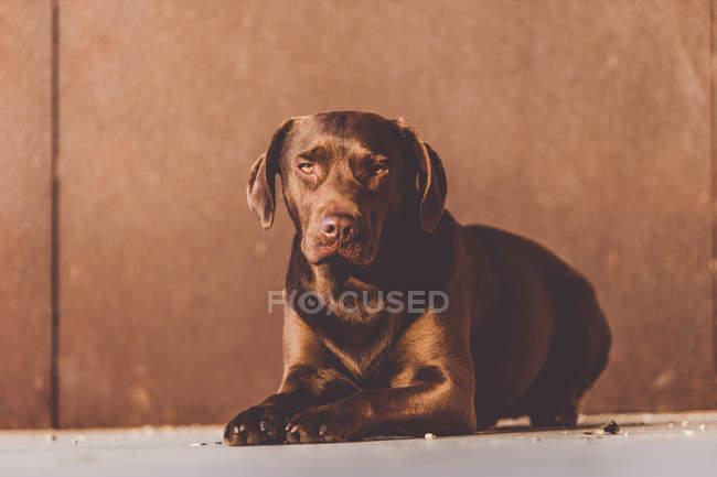 Sunlit brown labrador puppy lying on floor — Stock Photo