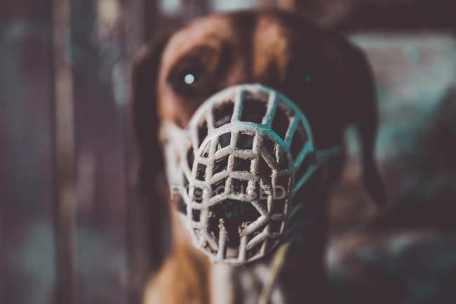 Close-up vista do focinho cinza no focinho do marrom labradordog. — Fotografia de Stock